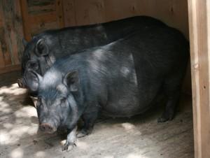 вислобрюхие свиньи в свинарнике