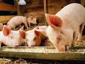 технология откорма свиней