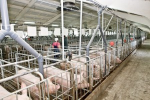 ферма для свиней