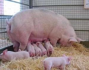 поросята со свиноматкой в свинарнике