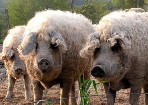 три свиньи породы венгерская мангалица