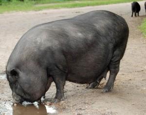 вьетнамская вислобрюхая свинья пьет из лужи