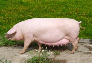 супоросная свинья породы пьетрен