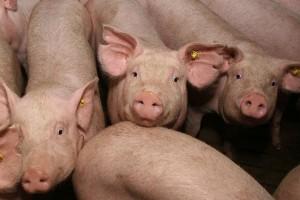 свиньи на откорм