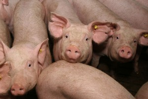 интенсивный откорм свиней