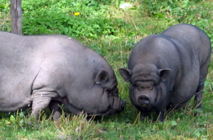 вьетнамские свиньи на прогулке