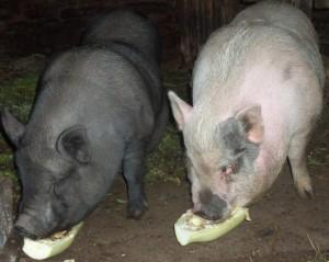 вьетнамские свиньи едят овощи