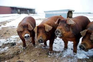 свиньи дюрок на зимнем выгуле