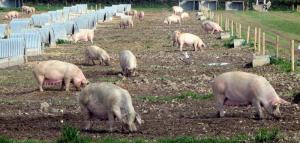 выгульный метод выращивания свиней