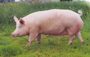 выбор свиноматки для опороса